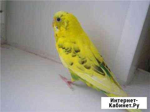 Попугай мальчик Санкт-Петербург
