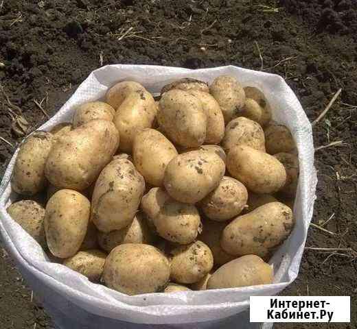 Картофель крупный Советский