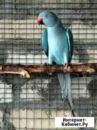 Ожереловые попугаи Подгорная