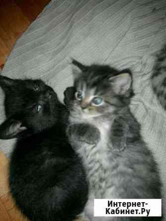 Котята от шотландской кошки Жуковка