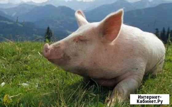 Свежее мясо молодой свиньи Куйбышев