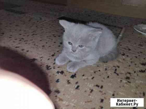 Британские Котята(Девочки) Ново-Талицы