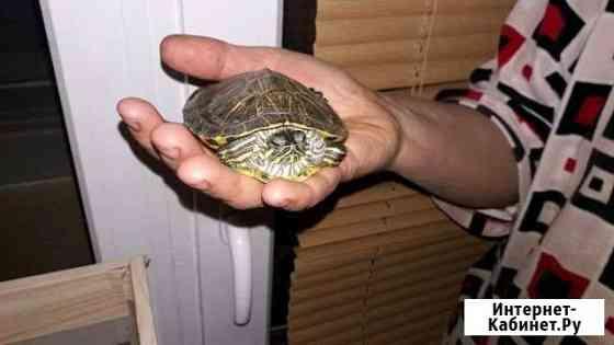 Черепаха красноухая Борисоглебск