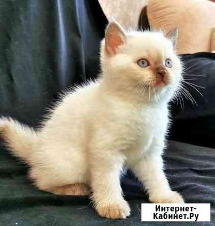 Британские котята от родителей - чемпионов Сургут