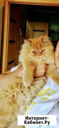 Персидская кошка ищет жениха.Вязка Старый Оскол