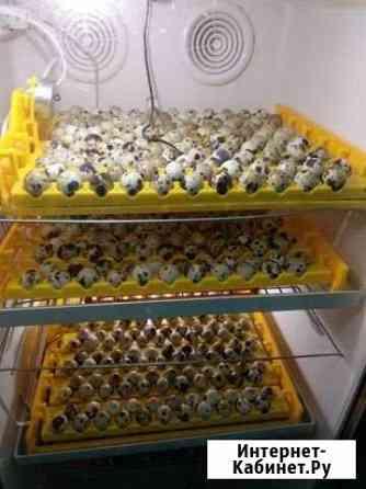 Перепела, инкубационное, пищевое яйцо Гостилицы