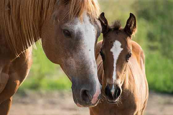 Лошади и жеребята от производителя Элиста