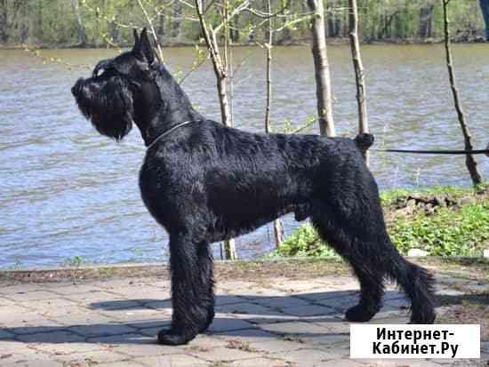 Ризеншнауцер щенки чёрного окраса Калуга