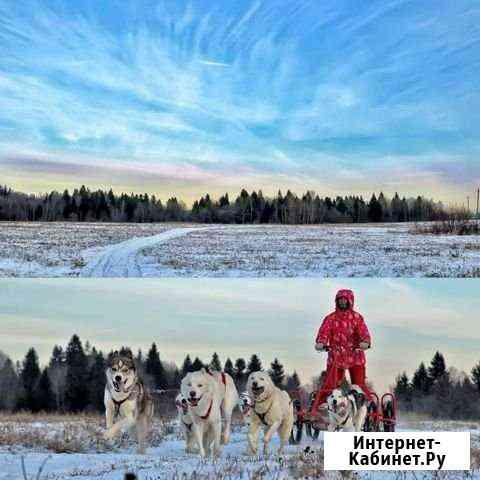 Упряжки хаски, экскурсия в питомник Новопетровское