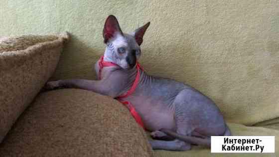 Кот ищет кошечку для вязки Владикавказ