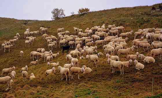 Овцы мясных пород живым весом Элиста