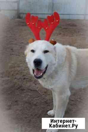 Собака в дар. Алабай, среднеазиатская овчарка двух лет Москва