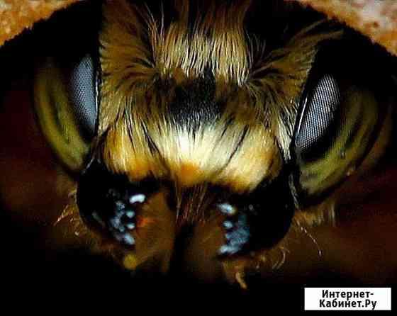 Привоз пчелопакетов Карпатка, Карника на 2020 год Омск