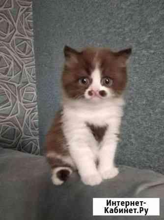 Британский котенок Челябинск