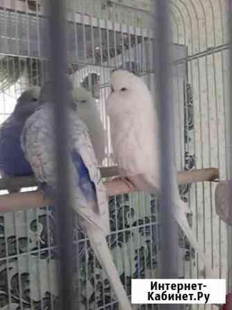Выставочные волнистые попугаи чехи Владимир