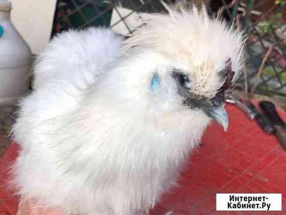 Цыплёнок шелковой китайской курицы Краснодар