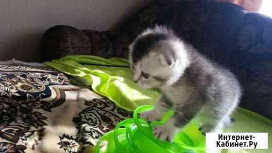 Шотландские котята Мурманск