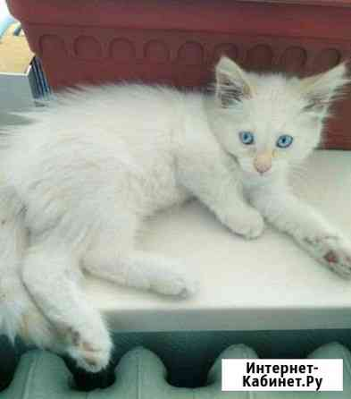 Котёнок Йошкар-Ола