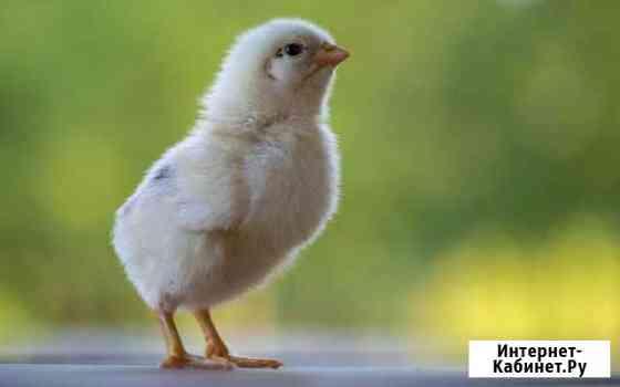 Цыплята Великие Луки