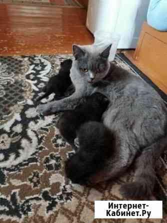 Кошка Калуга