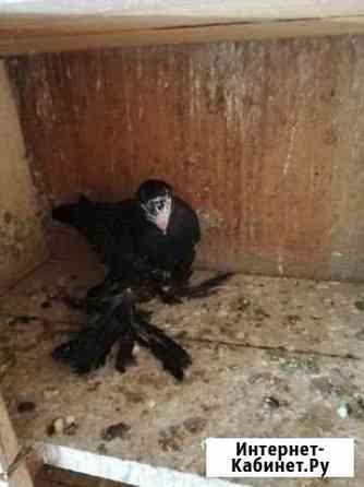 Домашние голуби Оренбург