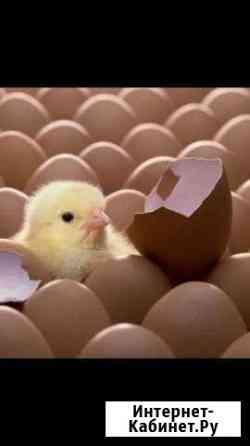 Круглогодично инкубационное яйцо Владимир
