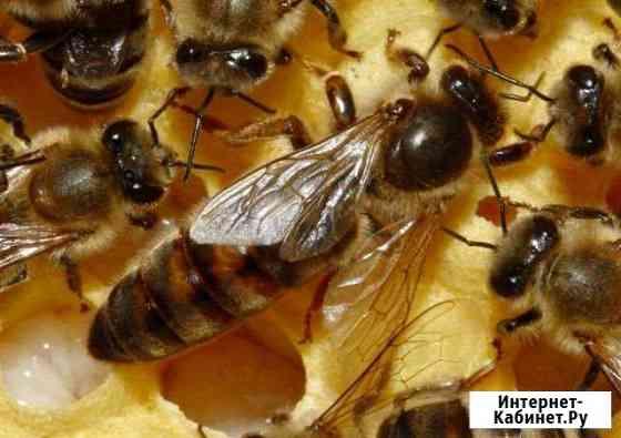 Матки пчелиные Тула