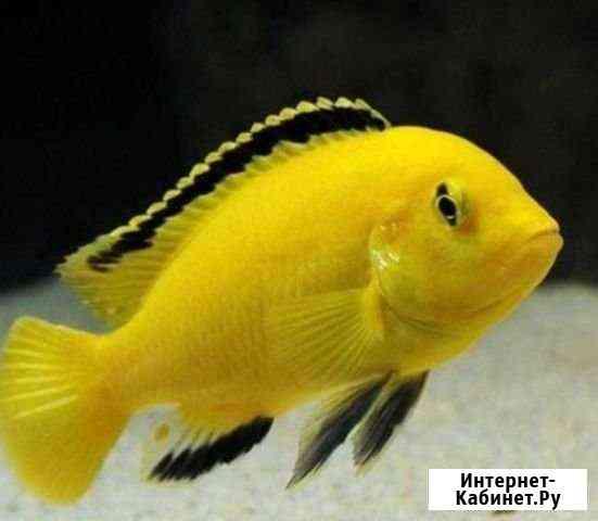 Елоу рыба цихлида Владимир