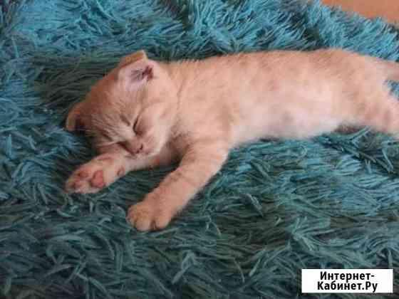 Шотландский котёнок Кемерово