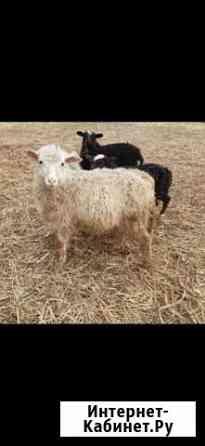 Ягнята и овцы Киржач
