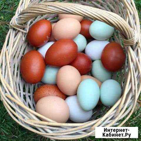 Инкубационное яйцо Орёл