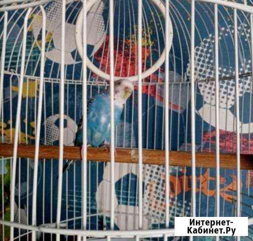 Волнистый попугайчик, самка Ульяновск
