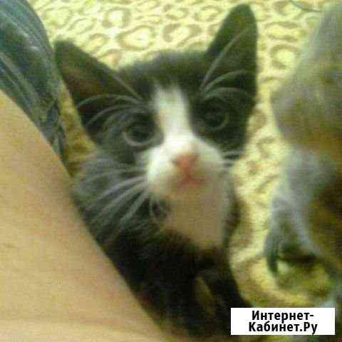 Кот *Рояль*, внук Музы Шнайдер, родился 02.05.20г Великий Новгород
