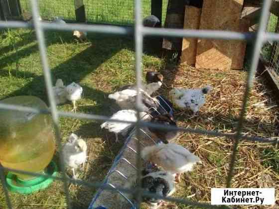 Помесные цыплята Калуга