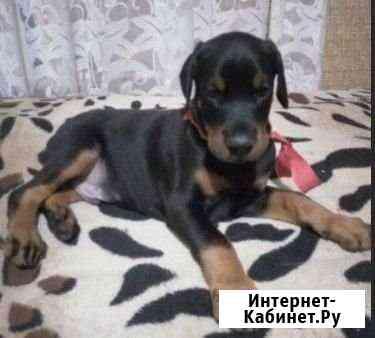 Щенки Добермана Девочка и Мальчик Санкт-Петербург