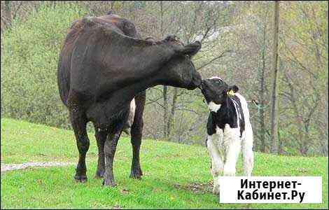 Корова Ишим