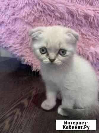 Шотландские котята Калининград
