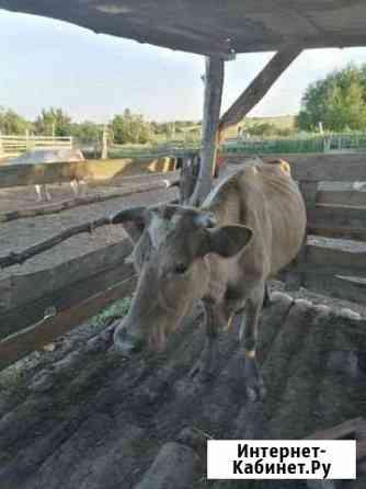 Корова Грабово