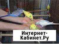 Птенцы волнистых попугаев Красноярск