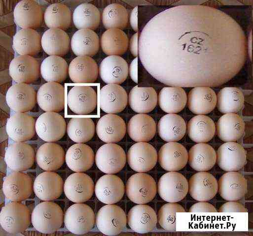 Инкубационное яйцо бройлеров кобб 500 Чехия Кемерово