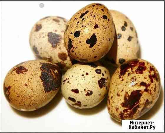 Яйцо инкубационное перепелиное Кемерово