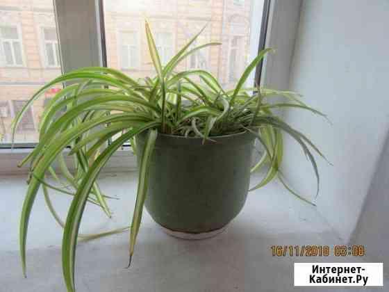 Растение декоративное Москва