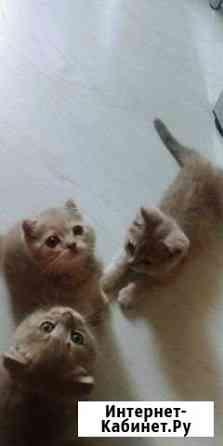 Продаются красивые шотландские вислоухие котята Липецк