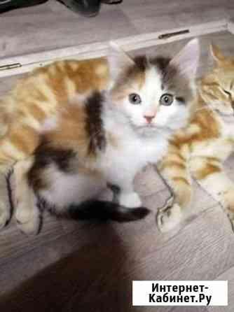 Котенок пушистый Тверь