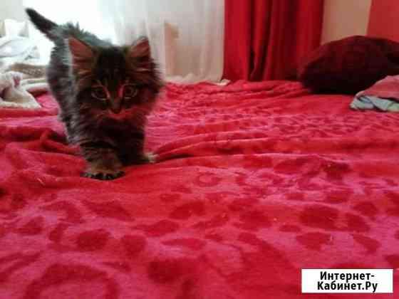 Котенок 2 месяца девочка Иркутск