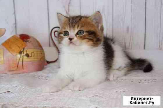 Британский котик Барнаул