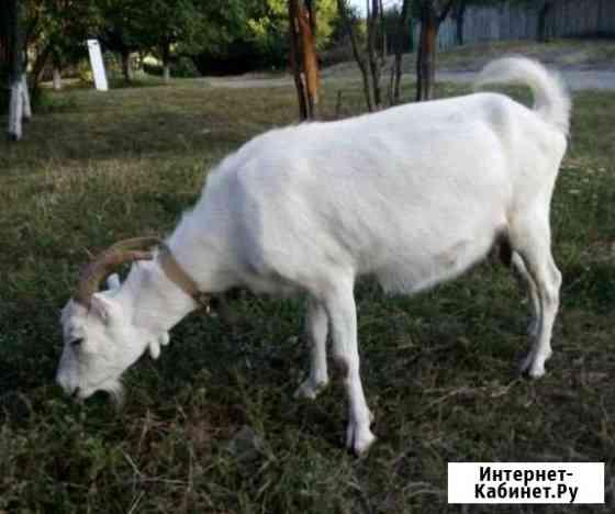 Коза ламанчо Гиагинская