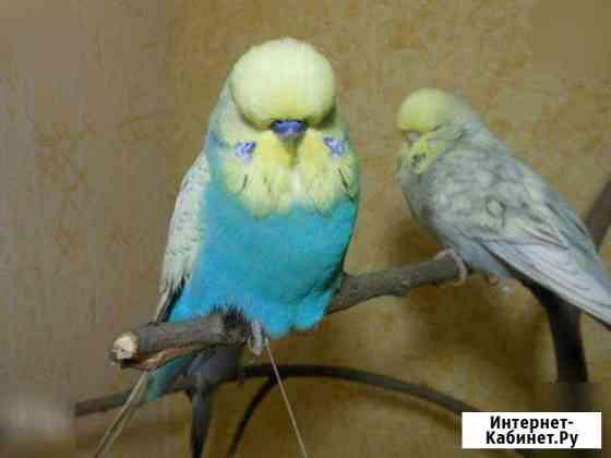 Певчие птицы-Попугаи-Амадины-Горлицы Курск