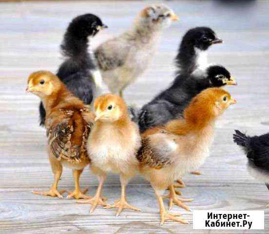 Цыплята Калининград