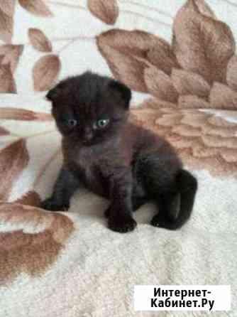 Шотландские котята Смоленск